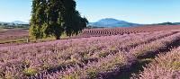Vibrant lavender fields provide picture-perfect photographic opportunities | Tourism Tasmania & Bridestowe Estate