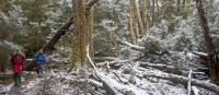 Walk through a forest of snow and trees along Tasmania's Overland Track during winter | Andrew Bain