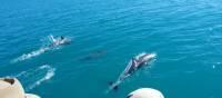 Dolphins around Steep Island in Doubtful Bay, Western Australia | Tim Macartney-Snape